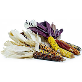 Rainbow Mini Indian Corn