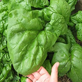 Nobel Giant Spinach