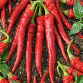 Cayenne Long Slim Pepper