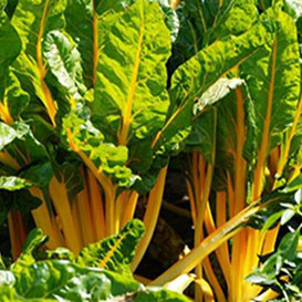 Golden Sunrise Swiss Chard