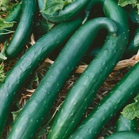 Green Dragon Cucumber