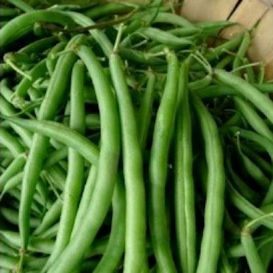 Burpee's Stringless Green Pod Bean