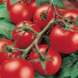 Porter Improved (Porter's Pride) Tomato **SOLD OUT FOR 2021**