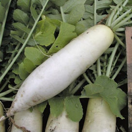 Chinese White Winter Radish