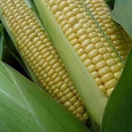 Open Pollinated Corn
