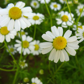 Chamomile German Herb