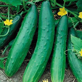 Garden Sweet Burpless (F1) Cucumber