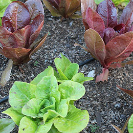 Summer Colors Blend Bibb Lettuce