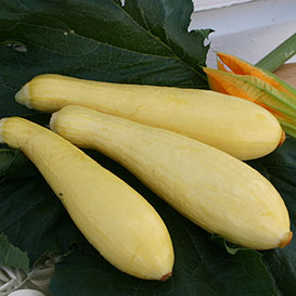 MultiPik Summer Squash