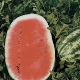 Big Stripe Watermelon