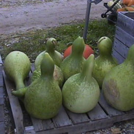 African Wine Kettle Cross Gourd