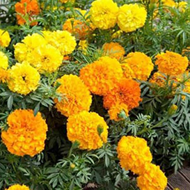 Marigold Crackerjack Mix Flowers