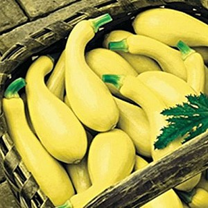 Dixie Summer Squash **SOLD OUT FOR 2021**
