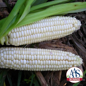 Stowells Evergreen Corn