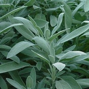 Sage Broadleaf Herb