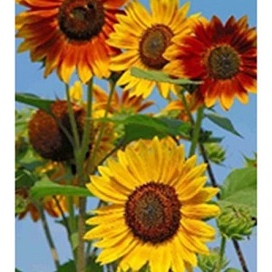 Large Sunflower Mix