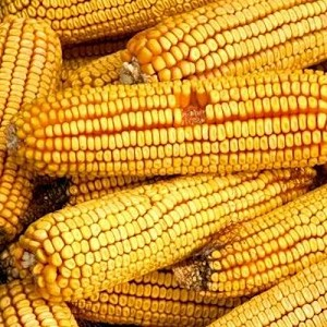 Reids Yellow Dent Corn